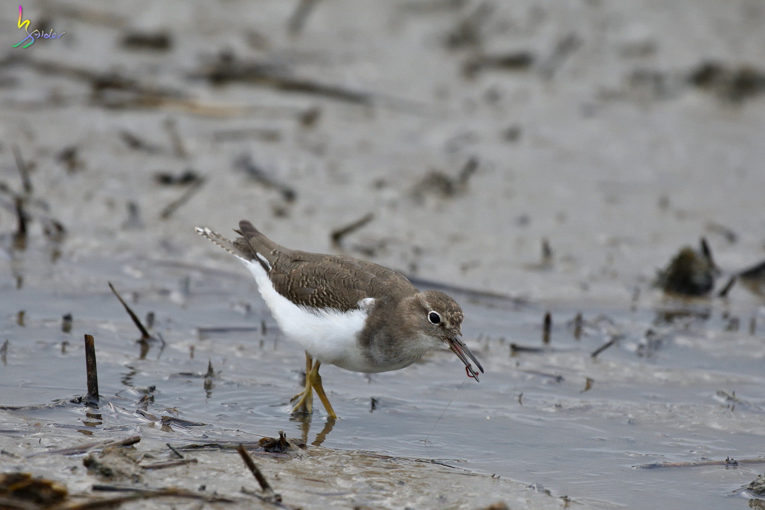 Common_Sandpiper_2914