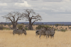 Group of Zebras in Tanzania