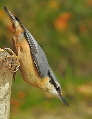 Nuthatch in dynamic pose.