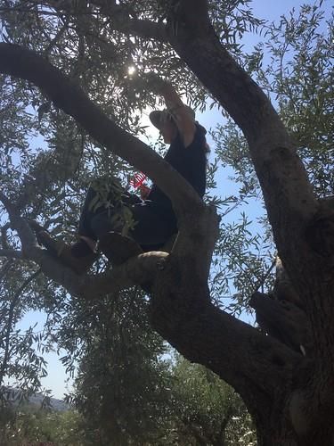 Olive Tree Acrobatics