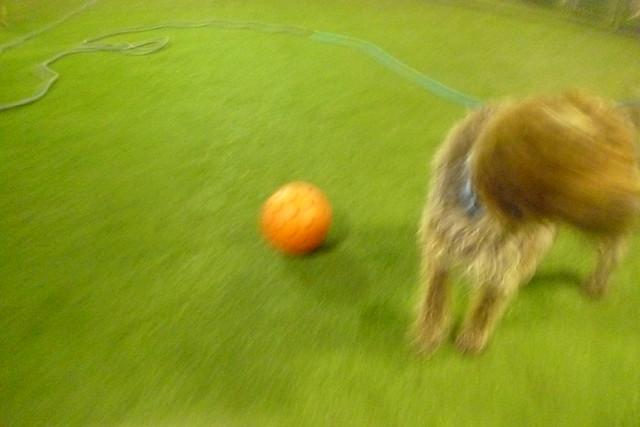 10/09/17 Indistructi-Ball Chase! :)
