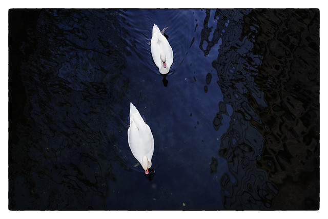Swans of Oslo