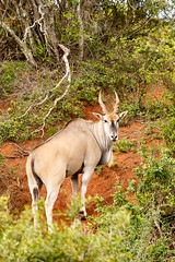 Eland turning his head to look at you