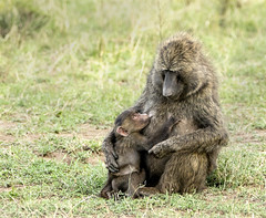 Tender Moment as Baboon  Infant  Suckles