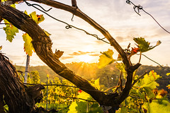 Sunrise Vineyard Early Morning Winery Fields Landscape Nature Outdoors Nature European Beautiful