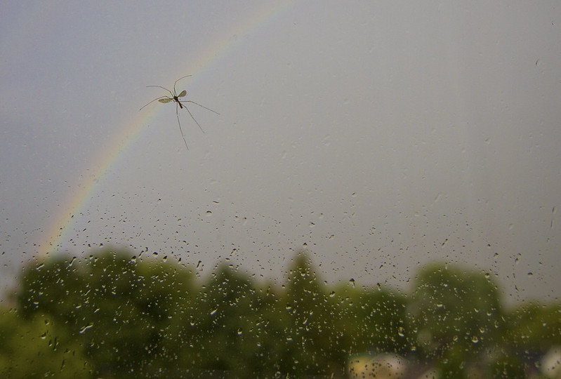 over the rainbow - crane fly
