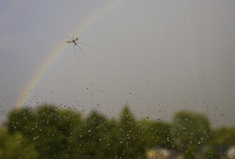 over the rainbow - crane fly