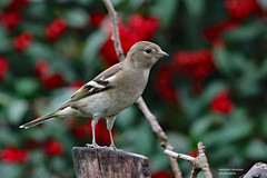 HolderFemale Chaffinch