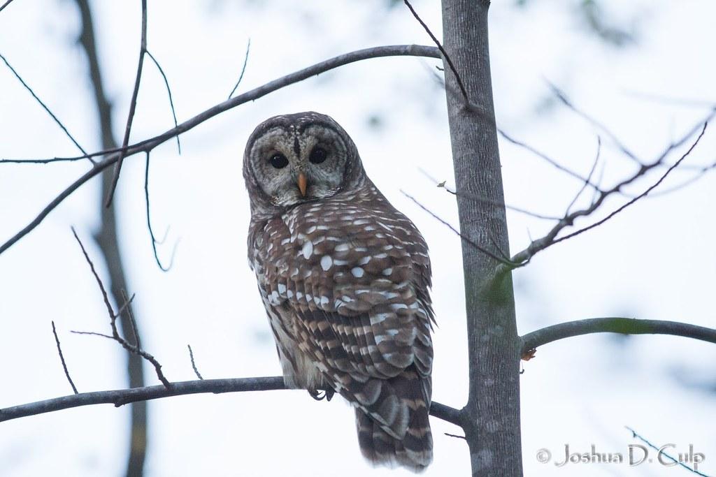 Barred Owl 20171101