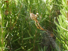 Golden banded garden spider, California, USA