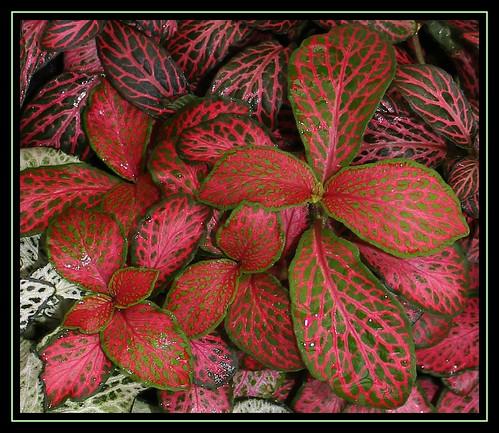 Fittonia hybride (albivenis x  verschaffeltii) 23714848998_765e201582