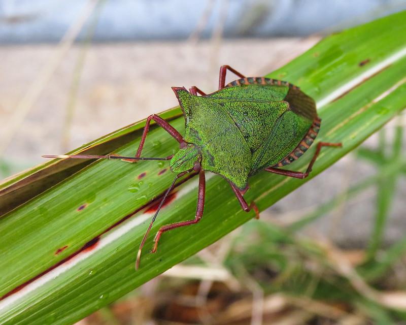 Pentatoma japonica