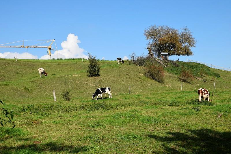 Cows 27.09 (2)