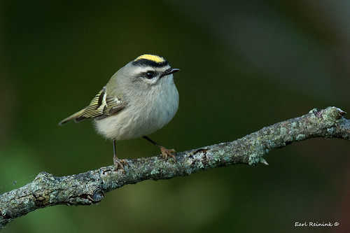 Yellow-crowned Kinglet
