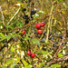 A berry good year for wild fruits