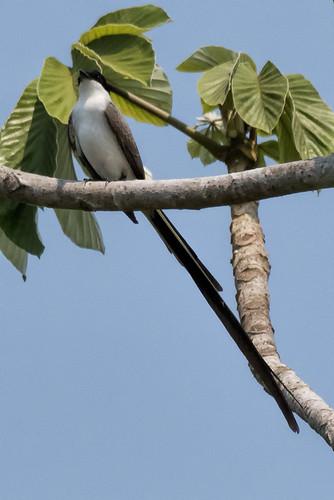 Pantanal: Fork-tailed Flycatcher 2