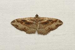 Costaconvexa centrostrigaria (Bent-line Carpet Moth) - Hodges # 7416