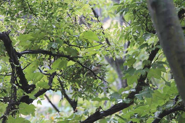 シロハラ, Canon EOS KISS X7, Canon EF 100-400mm f/4.5-5.6L IS
