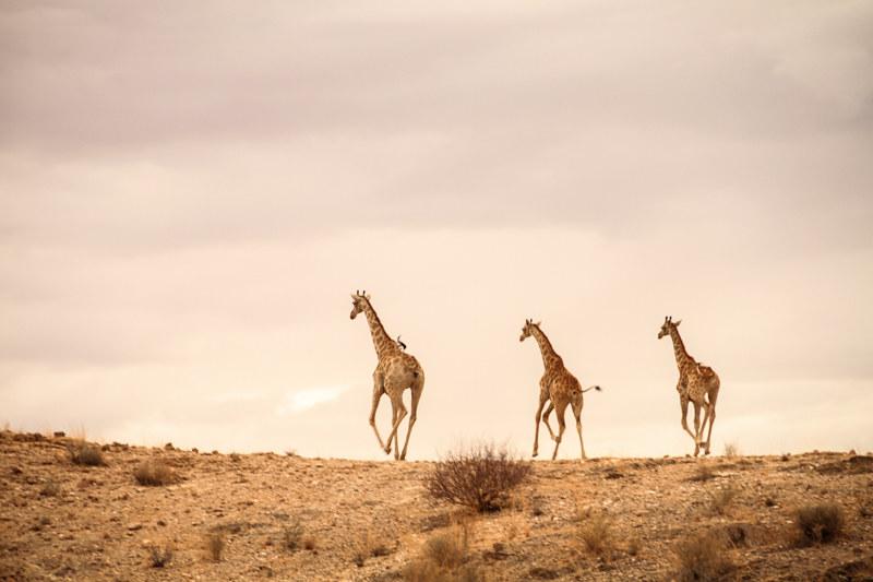 Giraffen-Namibia-Safari-Tour-Abenteuer-Urlaub-Farm