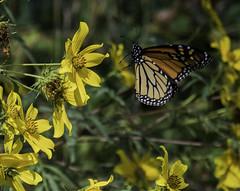 MonarchButterfly_SAF2345