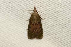 Aphomia sociella (The Bee Moth) - Hodges # 5629