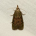 Aphomia sociella (The Bee Moth) - Hodges # 5629