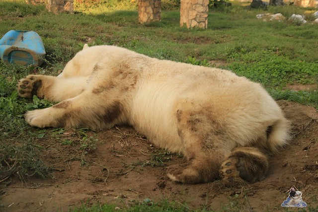 Eisbär Fiete im Sosto Zoo 30.09.2017 005