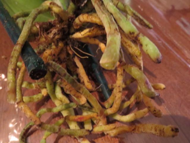 Orchidées chez lavandula - Page 2 37527389730_ef8ff3139e_z