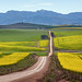 Overberg Canola Road by Panorama Paul