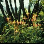 Calliandra calothyrsus leaves and flowers