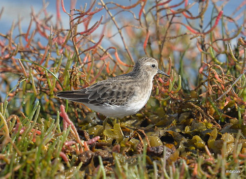 Least Sandpiper in salt marsh