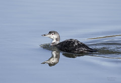 _J3A3959 7D Mark ll Tamron 150-600mm G2 Common Loon