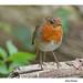 Brockholes Robin by coulportste