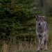 Gray Wolf by Pauls Outdoors