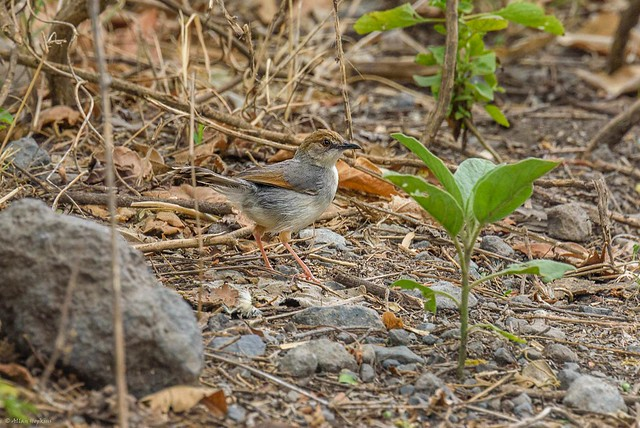 Singing Cisticola (Cisticola cantans pictipennis)