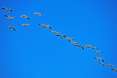 Snow Geese Flying 17-1015-5276