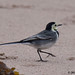 pied wagtail 40 2017