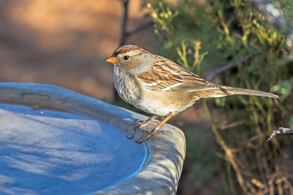 White-crowned-Sparrow-7-7D2-102417