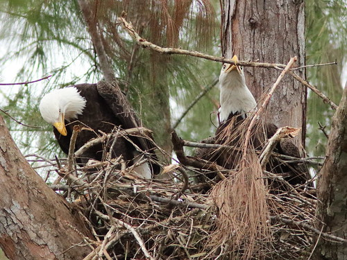 Bald Eagles work on nest 04-20171025