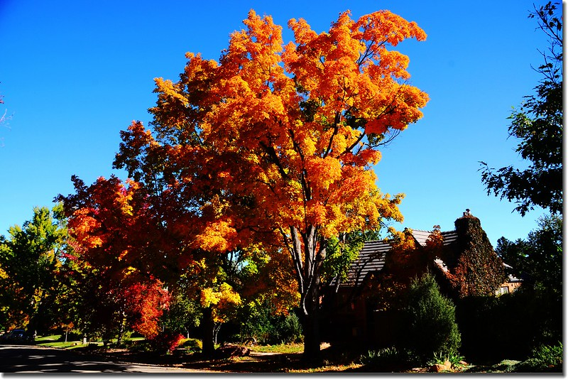 2017 Maple in Fall, Boulder, Colorado  (13)