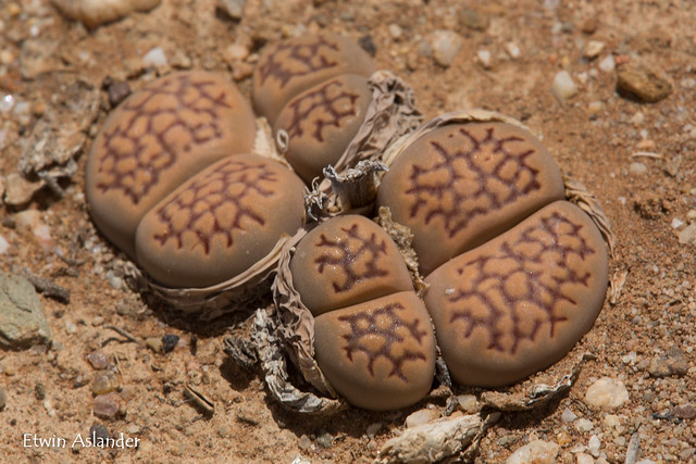 Lithops salicola 'maculate form'