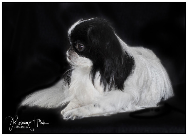 Our Japanese Chin, Smudge