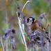 Goldfinch ; Carduelis carduelis