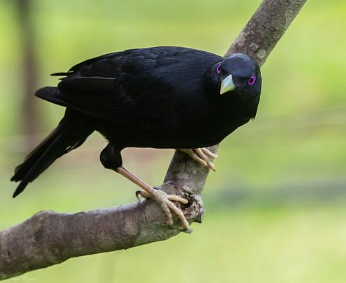 male Satin Bowerbird (Ptilonorhynchus violaceus)