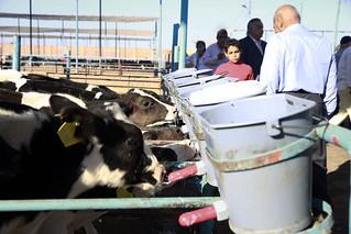Sat, 10/28/2017 - 14:59 - Dairy farm, Al-Sharkia