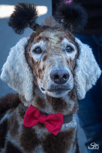 california carmel dogs petparade poodle poodledayparade carmelbythesea unitedstates us