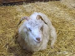 Old goat at Lake Farmpark