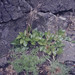 Small photo of Scottish lovage. Ligustrum scoticum