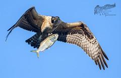 Osprey 9_24