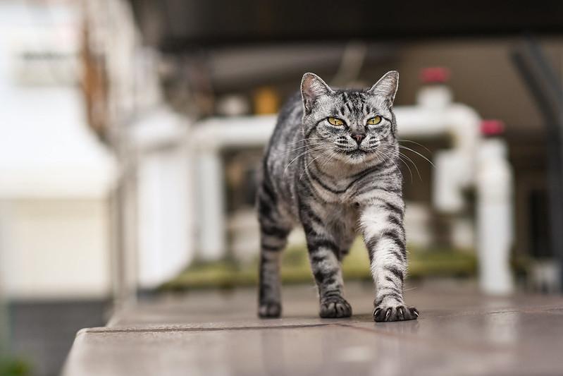 あくびを終えて歩くネコ
